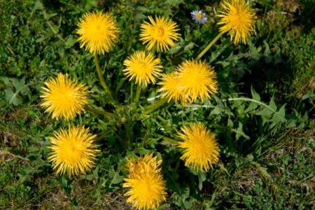Pflanze, die 100 mal stärker ist als die Chemotherapie